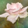 Textured Rose
