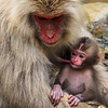 A baby snow monkey drinking mother's milk...Japan