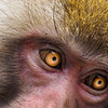 The golden eyes of an adult snow monkey...Japan