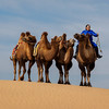 A finely dressed nomad crosses the sand dunes of the Gobi Desert to return her camels to home...Mongolia