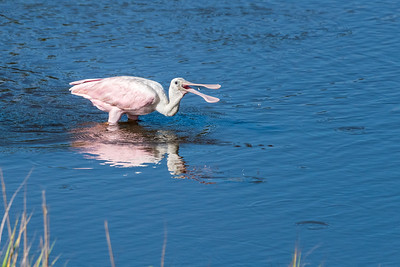 Roseate spoonbill captures a very small fish. Kiawah Island.
