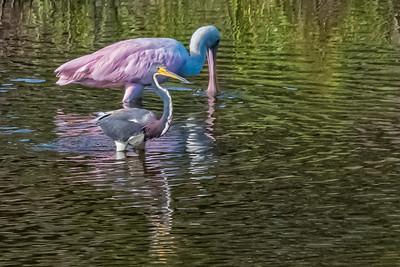 Roseate spoonbill and tricolor heron. Kiawah Island.