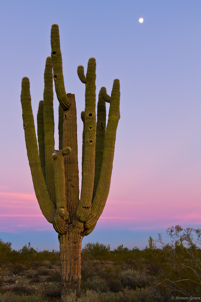 Saguaro Cactus - Surprise, Arizona
