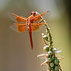 Flame Skimmer Dragonfly - Texas