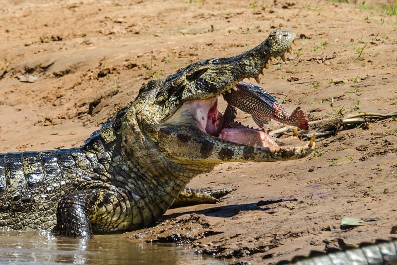 Yacare caiman (Caiman yacare)