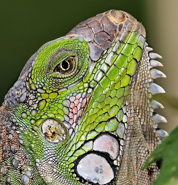 Green Iguana - Jaco, Costa Rica