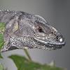 Black Spiny-tailed Iguana - Jaco, Costa Rica