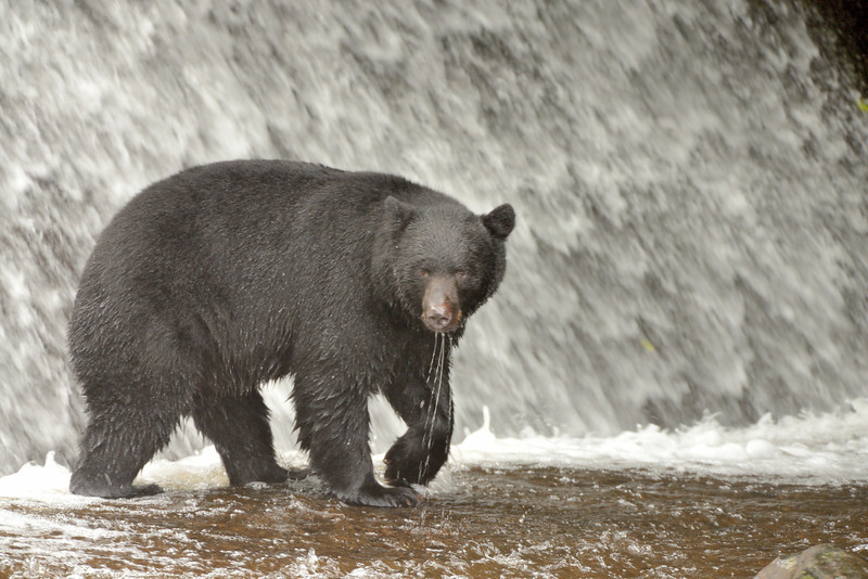 American black bear (Ursus americanus) at the Neets Bay Hatchery