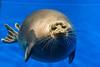 The Baikal seal (Pusa sibirica)