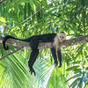 White-faced (Capuchin) Monkey - Costa Rica