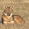 Coyote - Benbrook Lake - Fort Worth, TX
