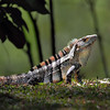 Ctenosaur Lizard (Black Spiny-tailed Iguana) - Pura Vida Gardens, Costa Rica