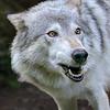 Alaska Gray Wolf - Kroschel Center for Orphaned Animals