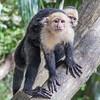 White-faced (Capuchin) Monkeys - Costa Rica