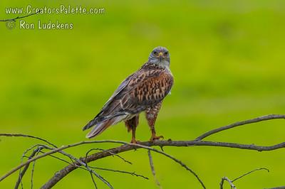 10: October: A beautiful Ferruginous Hawk overlooking his fields of prey.