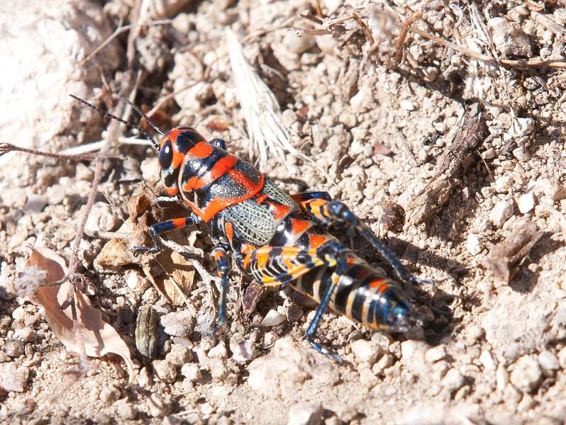 Grasshopper Tucson_10-10-26_IMG_2684