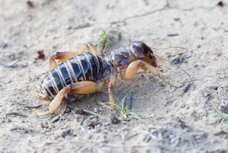 PotatoBug CLU201011237I2B2735