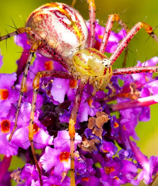Lynx Spider (2)
