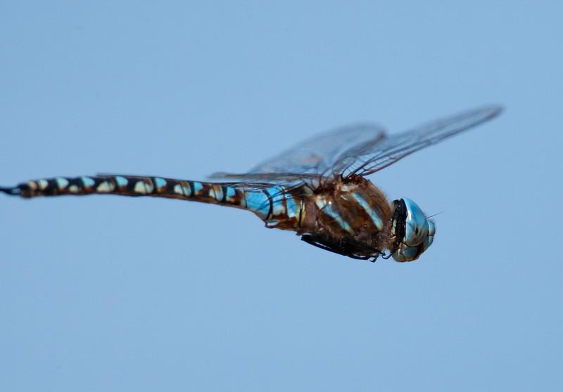 Dragonfly Satwiwa_7I2B5475_2011-05-02-09-37-49