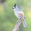 Black-crested Titmouse - South Llano River SP - Texas