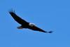 Bald eagle fishing near LeClaire, Iowa