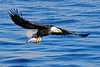 Bald eagle fishing near LeClaire, Iowa