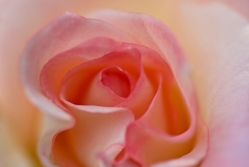 Aloha Rose.  USA 2010