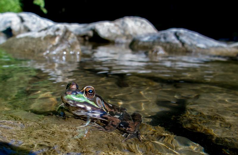 Big-Eyed Frog