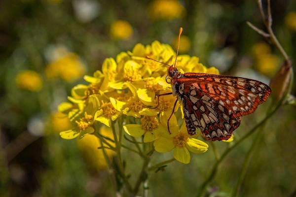 Butterfly on Yarrow