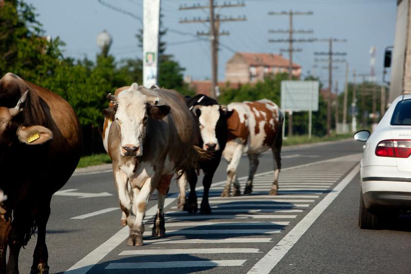 Cows on road, Romania