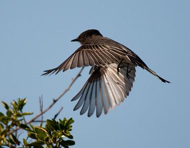 Black Phoebe in Flight