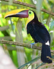chestnut mandible toucan