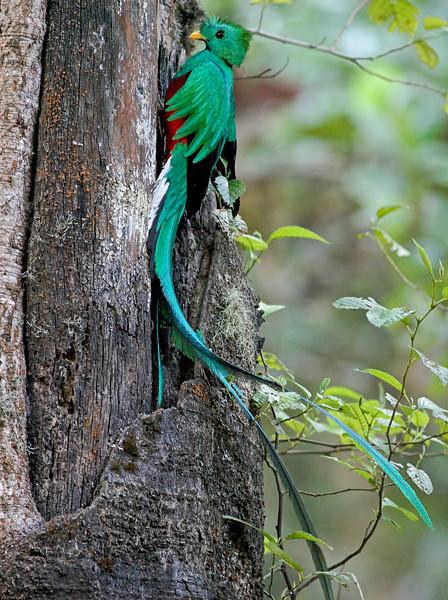 Quetzal Nest building