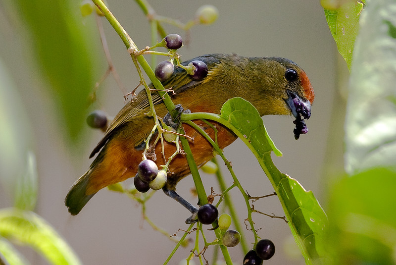 Spot-Crowned Euphonia female