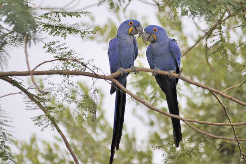 Hyacinth Macaw (Anodorhynchus hyacinthinus), or Hyacinthine Macaw, is the largest macaw and the largest flying parrot species in the world