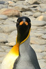 The upper parts features of the King penguin (Aptenodytes patagonicus) include a silvery-grey back with a blackish-brown head decorated with ear patches of bright golden-orange.  The 4¾–5 inch black bill is long and slender, and curved downwards like a banana peel. The lower mandible bears a striking pink or orange-coloured mandibular plate.