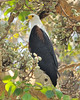 The African Fish Eagle (Haliaeetus vocifer) is a large bird, and the female, at 7-8 lbs is larger than the male, at 4.4-5.5 lbs. Females have wingspans of 8 feet and length of 25-30 in.  The eagle is on a sycamore fig (Ficus sycomorus).