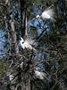 Egrets Preening