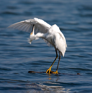 Snowy Egret standing on Water