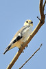 Pearl Kite, Gampsonyx swainsonii,  is 20.3-23 cm in length and weighs 80-95 g, and is the smallest raptor in the Americas.