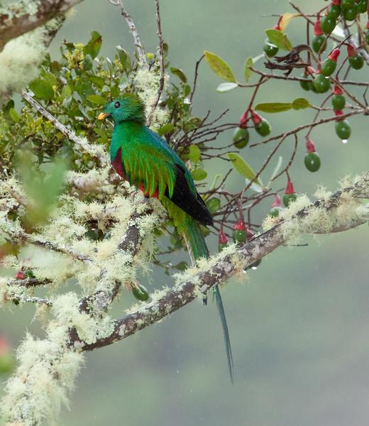 Quetzal in rain