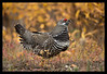 Spruce Grouse (Tiaga)