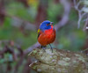 Painted Bunting 4