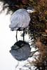 Black crowned Night Heron Reflection