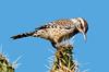 catus wren