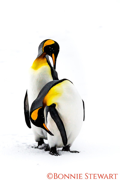 King Penguin couple in a tender moment