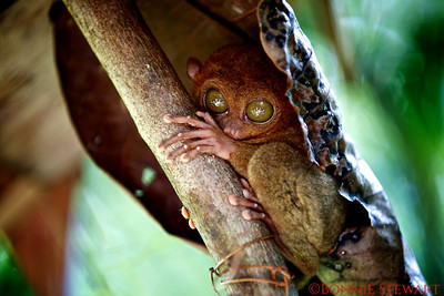 Tarsier - the smallest primate in the world and they are unique to the Philippines.  Found on the Island of Bohol.  They are 3 to 6 inches in length and nocturnal.