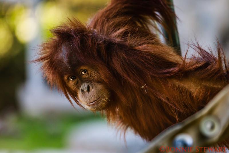Orangutan baby playing