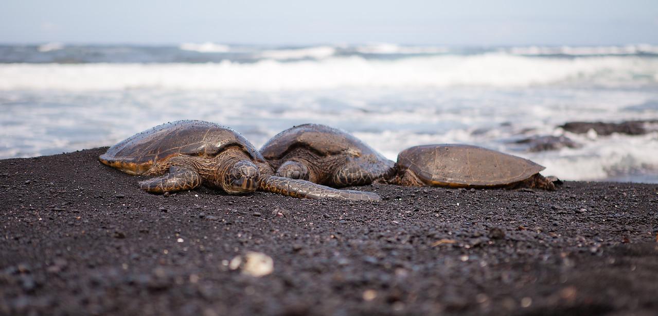 Turtles on Black Sand, Big Island of Hawaii.