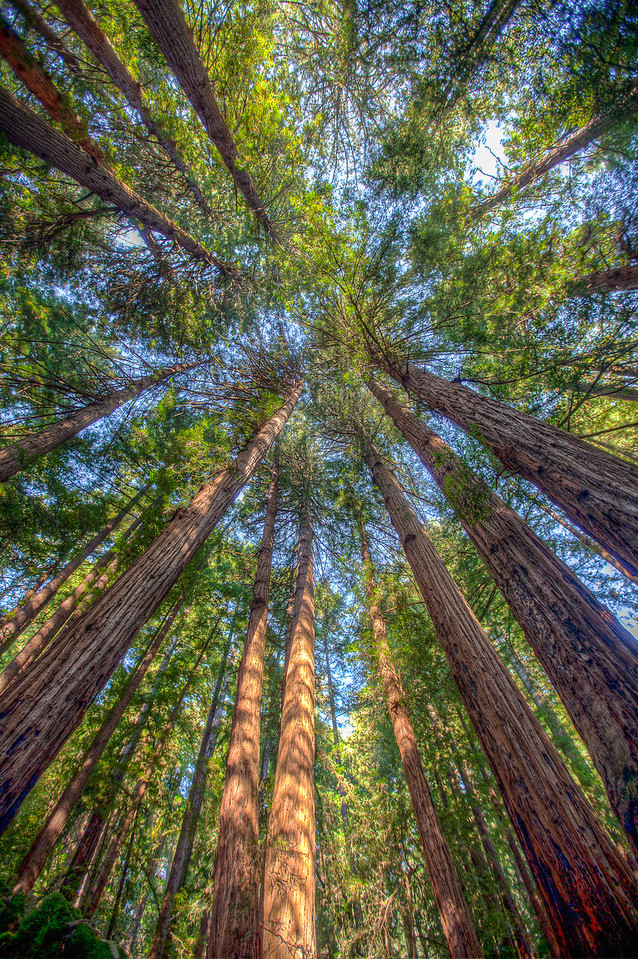 Redwoods at Muir Woods.